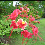 Caesalpinia pulcherrima / Flamboyant Nain Rose