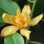 Magnolia champaca / Champac
