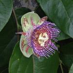 Passiflora maliformis / Coque en Fer